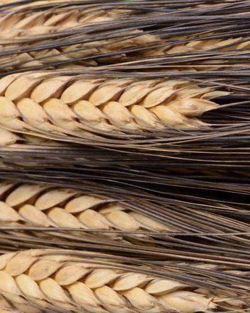 Ears Of Wheat - Black Mustache