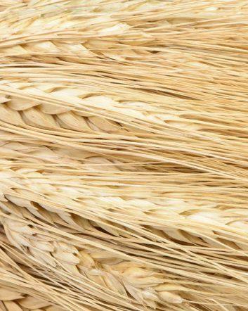 Ears Of Wheat White Mustache